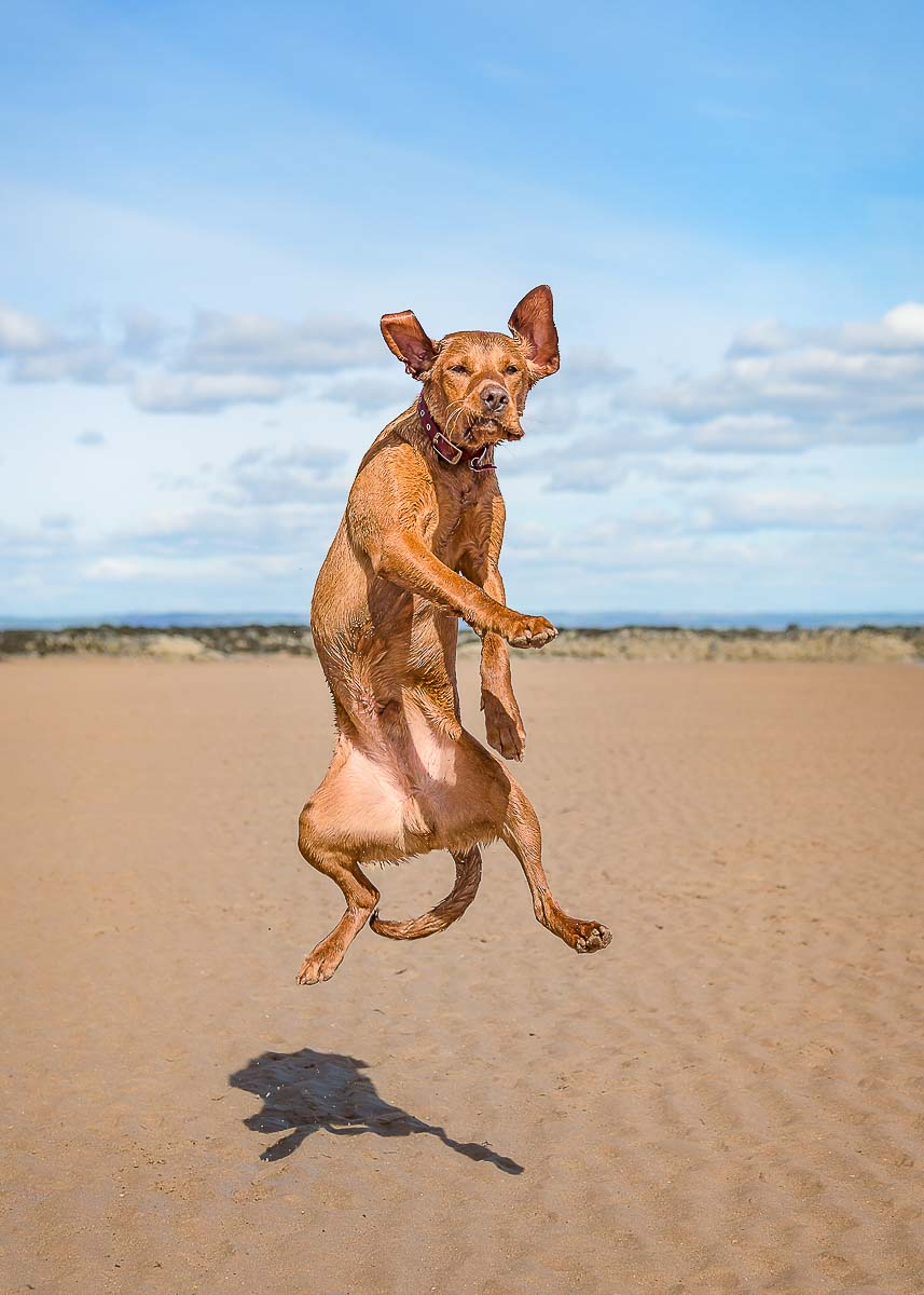 A fox red labrador caught in mid air jumping for a treat at the beach