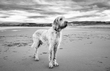 An Italian Spinone standing tall for his photoshoot on the beach in East Lothian