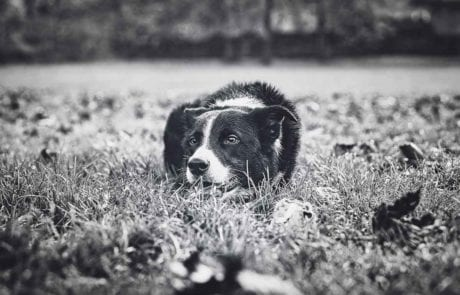 Black and white image of a Border Collie lying down in the grass at Figgate Park in Edinburgh