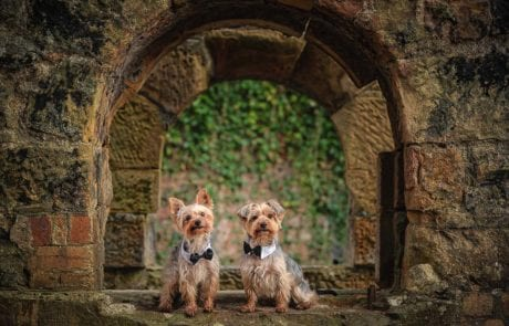 Hoopey and Murphy the Yorkshire Terriers sitting on a wall posing for their photo wearing bowties